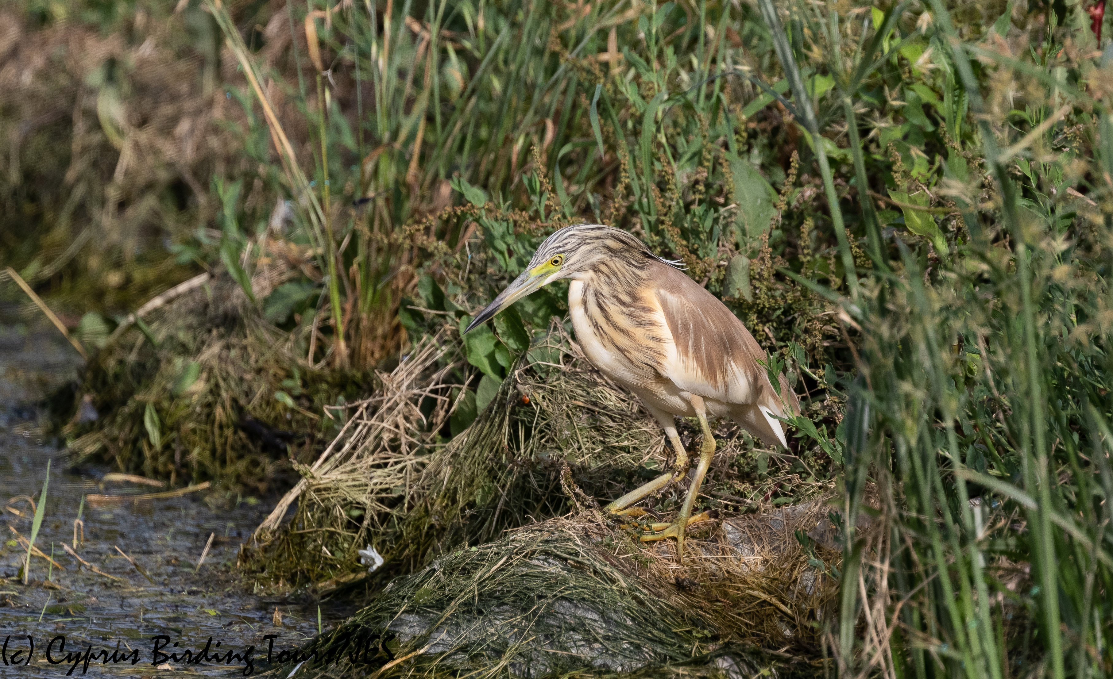 Squacco Heron, Agia Varvara 21st May 2020 (c) Cyprus Birding Tours
