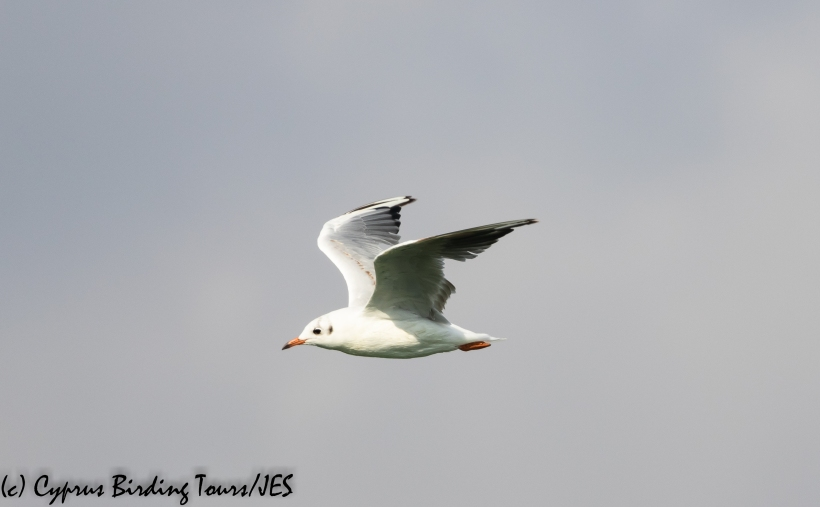 Black-headed Gull, Larnaca Sewage Works, 17th July 2020 (c) Cyprus Birding Tours