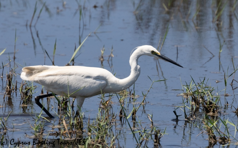 Little Egret, Akrotiri 2nd July 2020