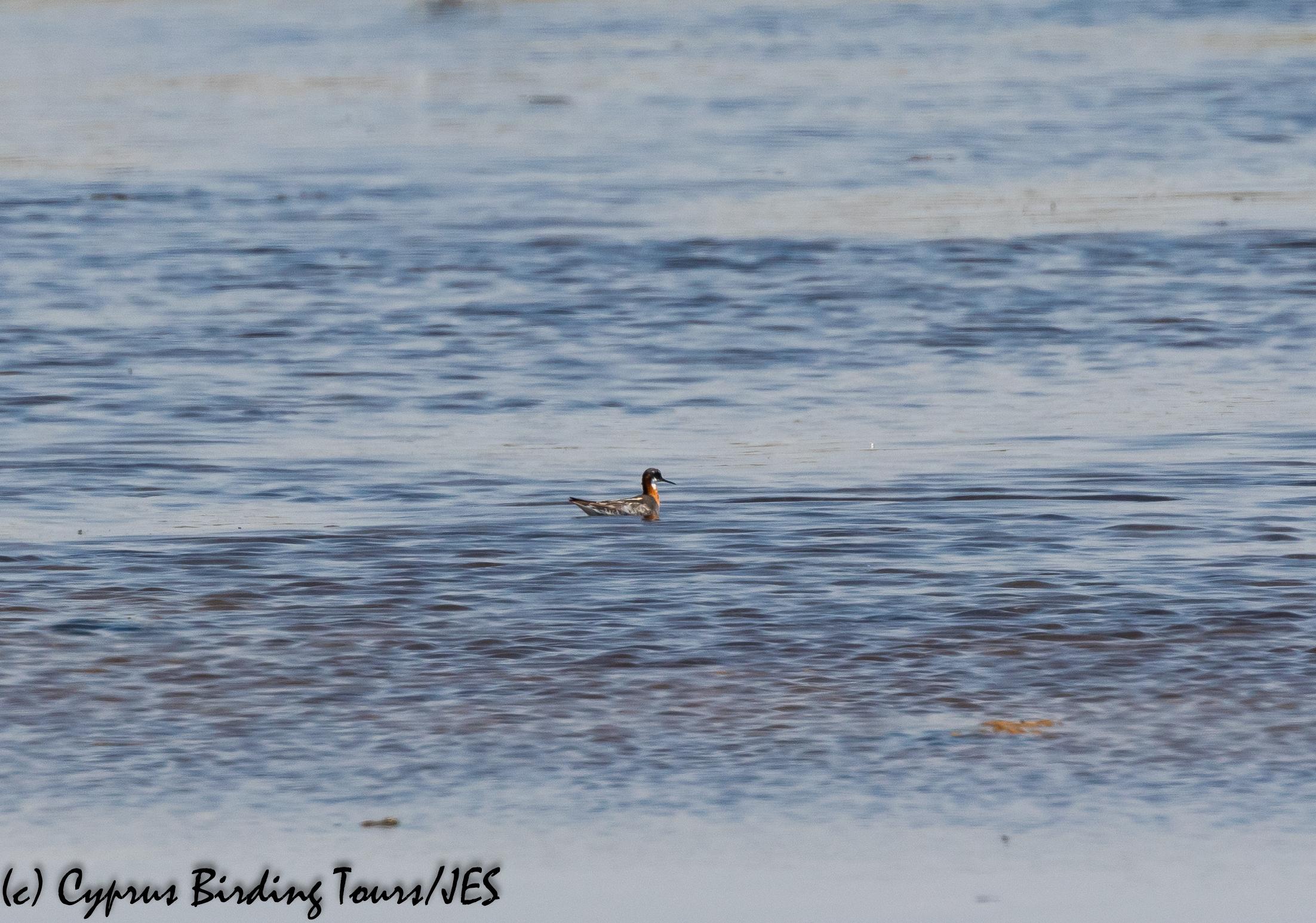 Red-necked Phalarope, Larnaca 17th July 2020 (c) Cyprus Birding Tours