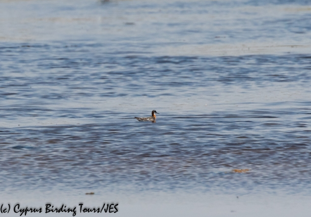 Red-necked Phalarope, Larnaca 17th July 2020 (c) Cyprus Birding Tours
