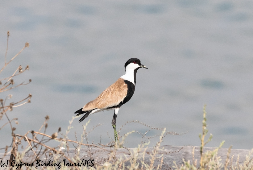 Spur-winged Lapwing. Larnaca Sewage Works, 17th July 2020 (c) Cyprus Birding Tours