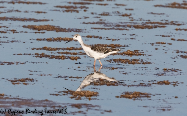 Black-winged Stilt, Meneou 18th August 2020 (c) Cyprus Birding Tours