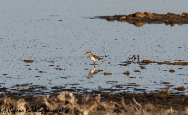 Broad-billed Sandpiper, Meneou Pool 16th August 2020 (c) Cyprus Birding Tours