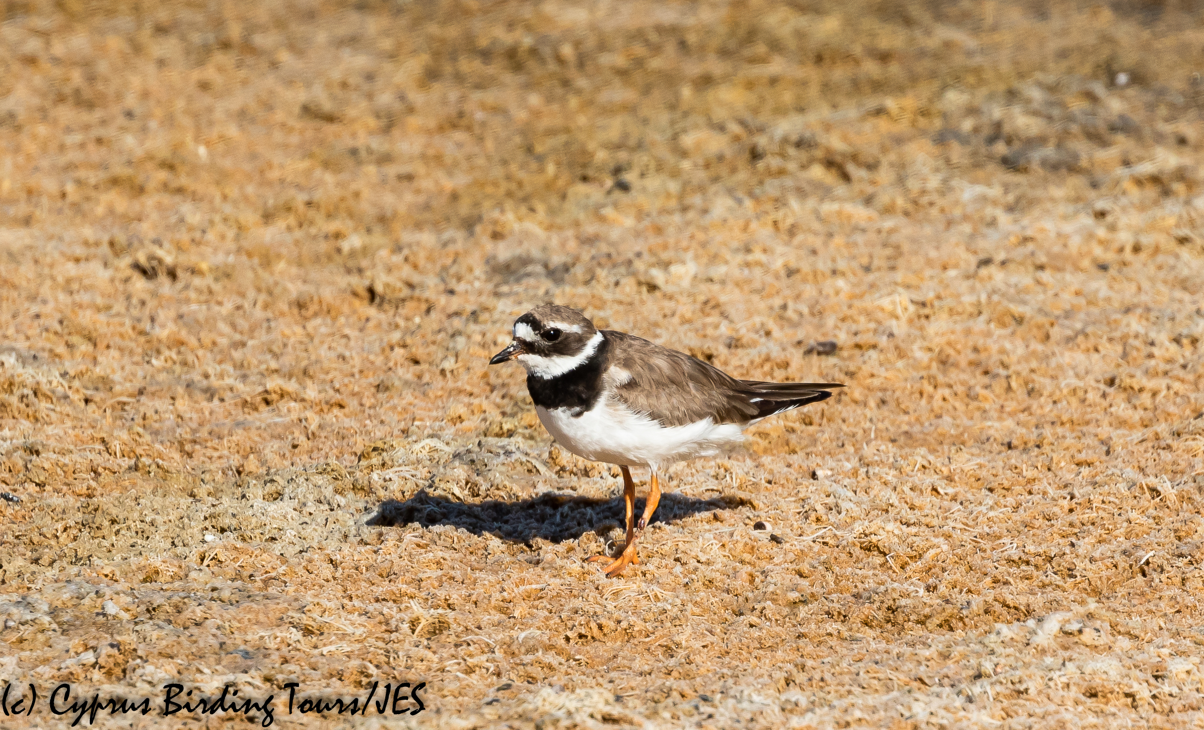 Common Ringed Plover, Meneou Pool 16th August 2020 (c) Cyprus Birding Tours
