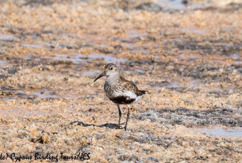 Dunlin, Larnaca 31st August 2020 (c) Cyprus Birding Tours