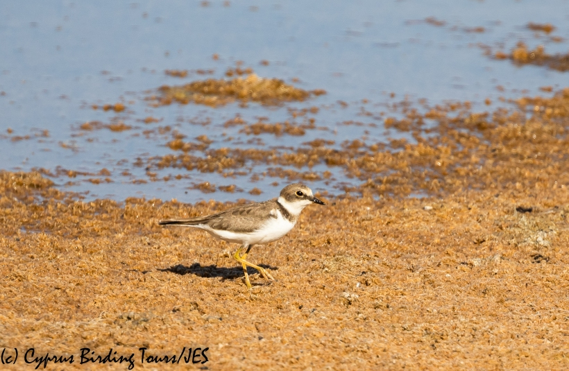 Little Ringed Plover, Meneou Pool 16th August 2020 (c) Cyprus Birding Tours