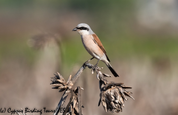 Red-backed Shrike 4, Pervolia 21st August 2020 (c) Cyprus Birding Tours(