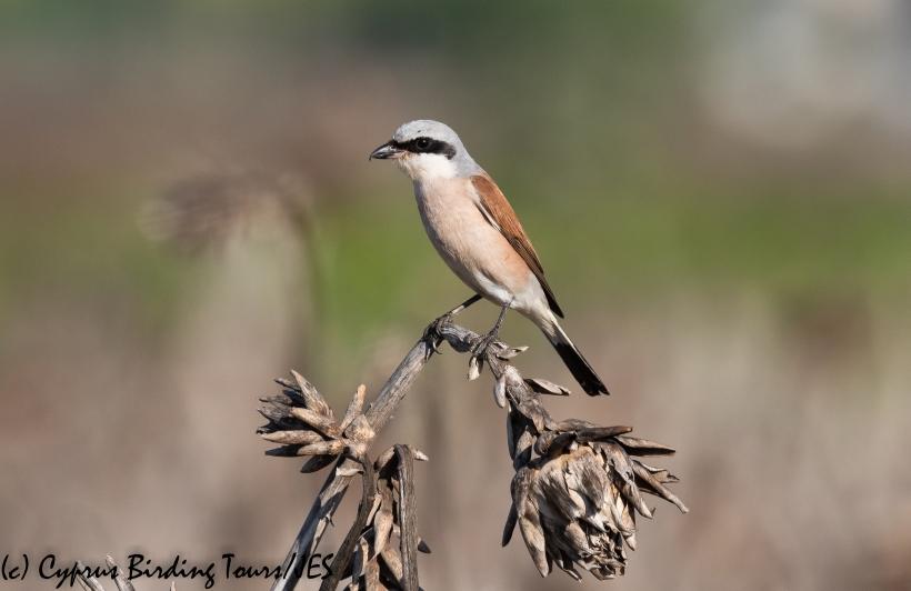Red-backed Shrike 4, Pervolia 21st August 2020 (c) Cyprus Birding Tours(