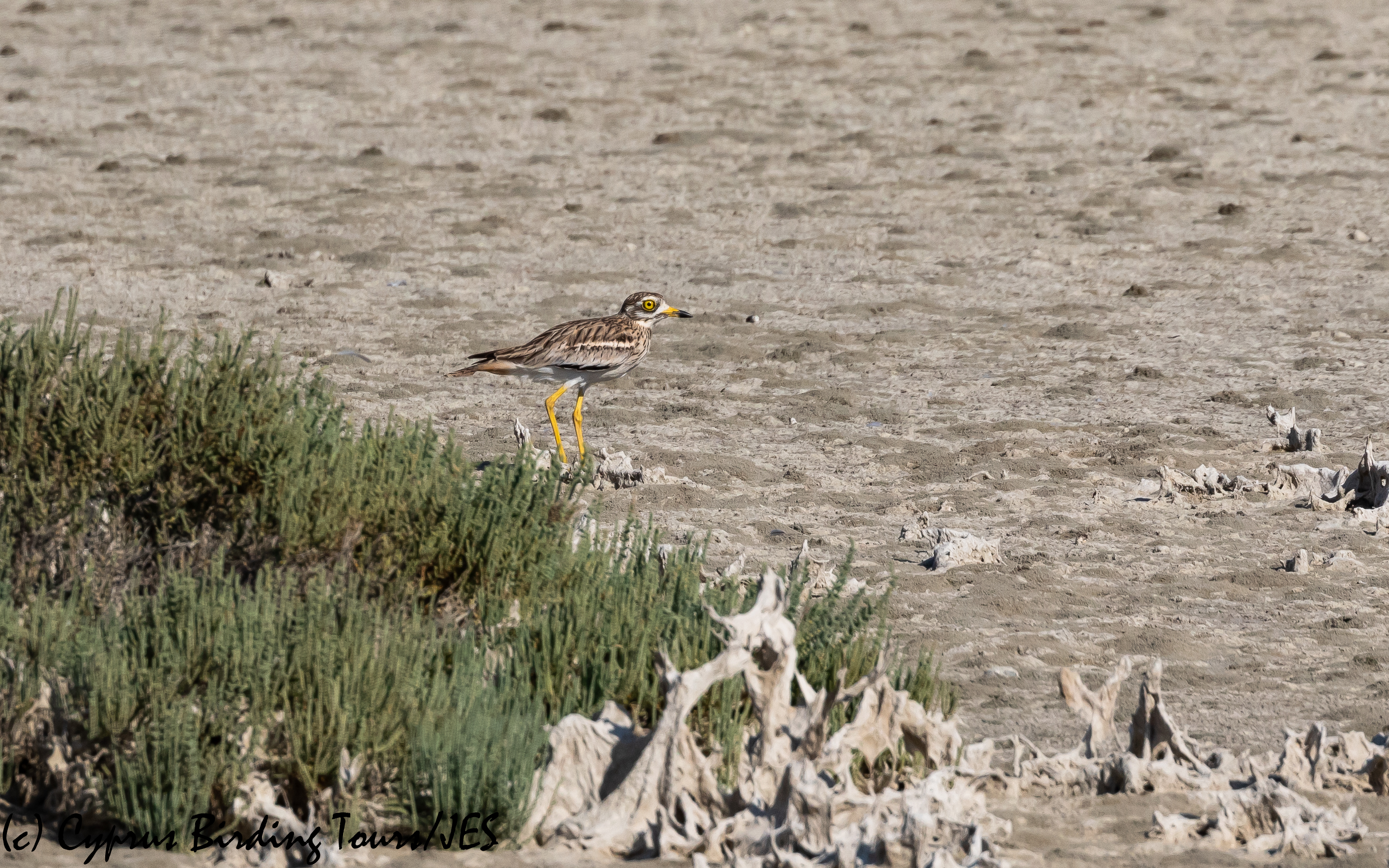 Eurasian Stone Curlew, Larnaca 31st August 2020 (c) Cyprus Birding Tours