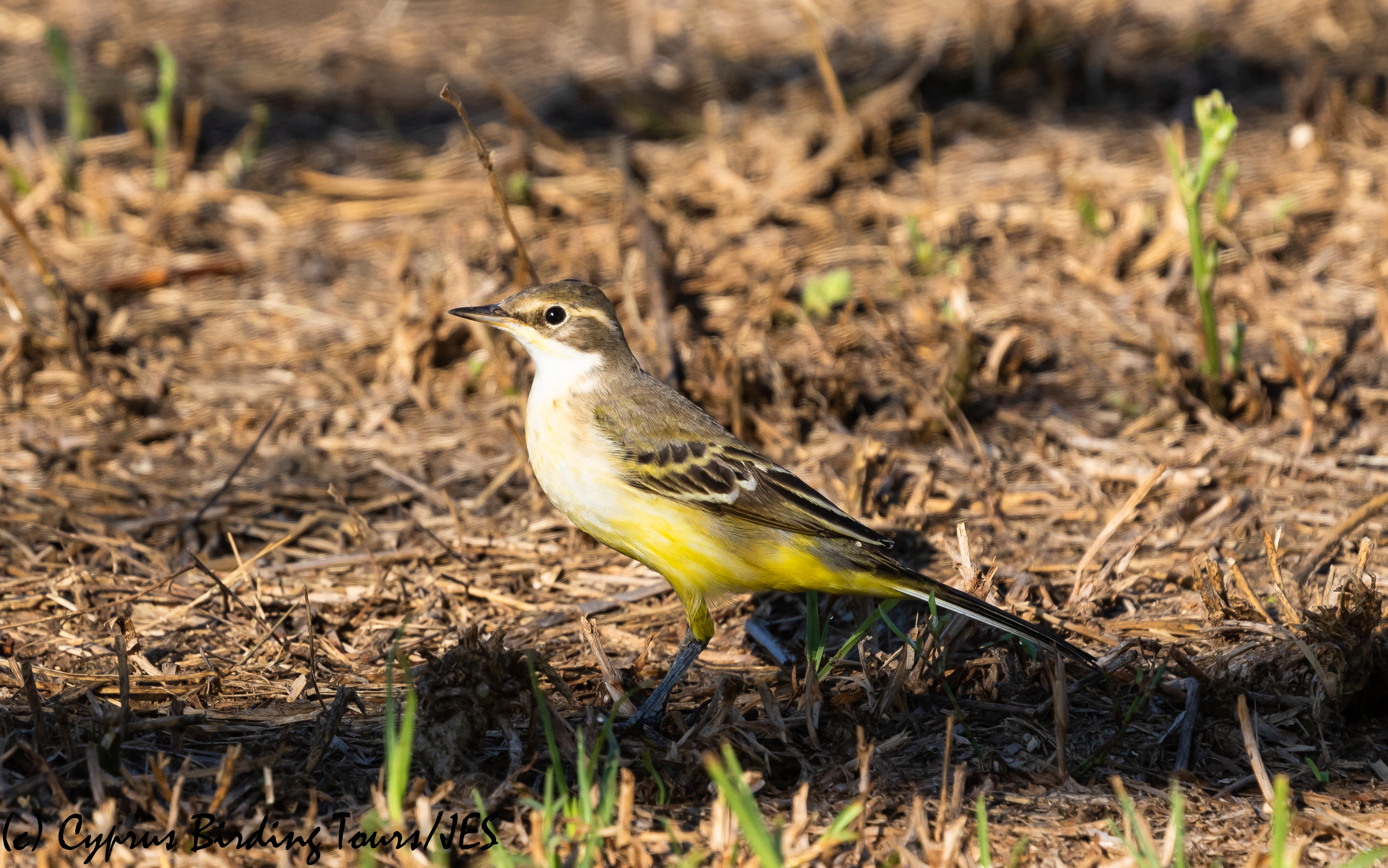 Western Yellow Wagtail 2, Pervolia 21st August 2020 (c) Cyprus Birding Tours