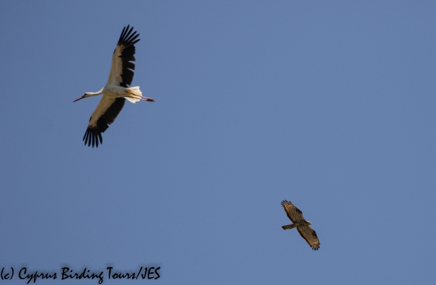 White Stork and European Honey Buzzard, Akrotiri Marsh, 17th August 2020 (c) Cyprus Birding Tours